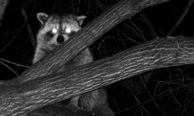 Hunting Raccoon at Night
