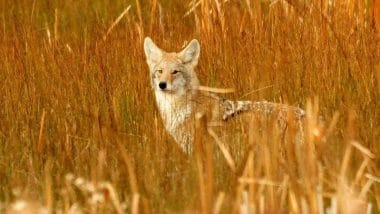 Electronic Predator Calls for Coyote Hunting