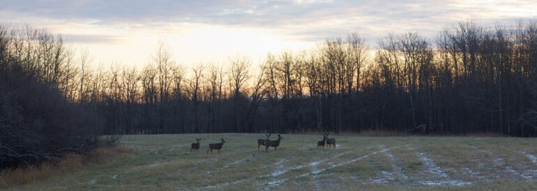 Deer on Field's Edge