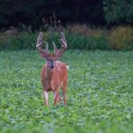 Best Deer Food Plots