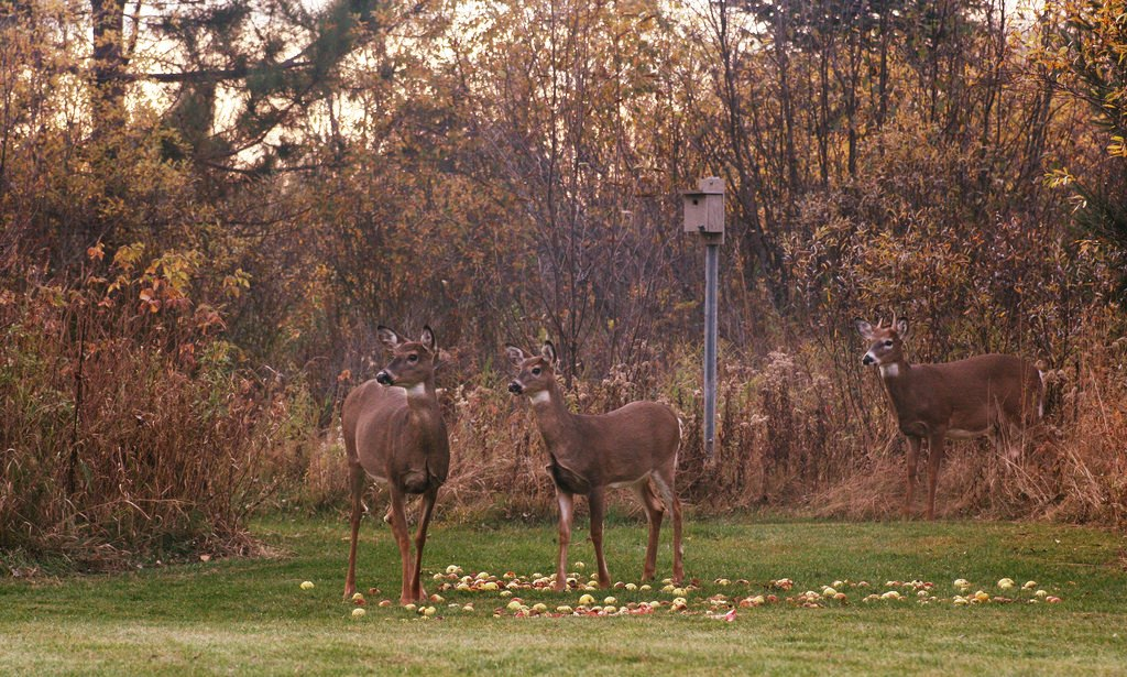 Fruit Trees for Deer: Planting Apple, Pear, and Persimmon Trees