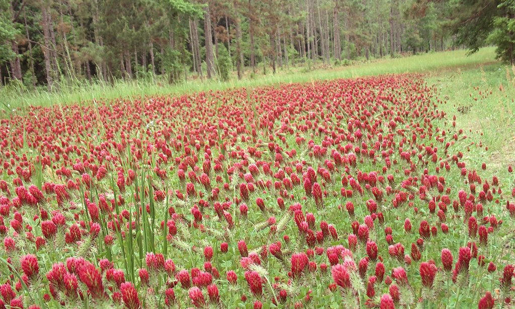 Planting the Best Clover Food Plots for Deer and Turkey
